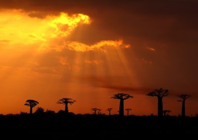 Adansonia grandidieri - (Baobab de Grandidier - Madagascar)