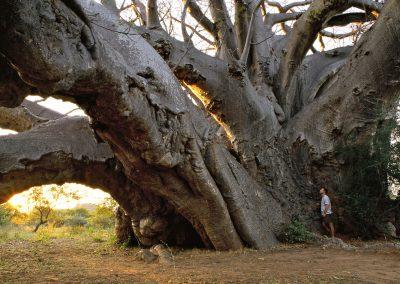 <em><strong>Andansonia digitata</strong></em>  (Baobab - Afrique du Sud)
