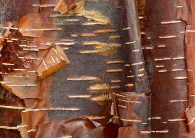 <strong><em>Betula utilis</em> 'Wakehurst Chocolate'</strong>  (Bouleau chocolat - UK)