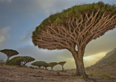 <em><strong>Dracaena cinnabari</strong></em>  (Sang dragon de Socotra - Yémen)