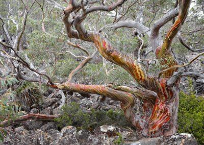 <em><strong>Eucalyptus coccifera</strong></em>  (Eucalyptus des neiges - Tasmanie)