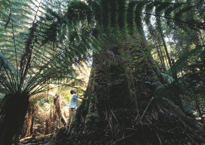 <em><strong>Eucalyptus regnans</strong></em>  (Eucalyptus roi - Tasmanie)