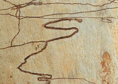 <em><strong>Eucalyptus rossii</strong></em>  (Eucalyptus à gribouillages - Australie)