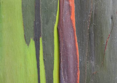 <em><strong>Eucalyptus deglupta</strong></em>  (Eucalyptus arc-en-ciel - Hawaii)