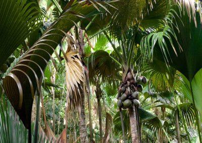 <em><strong>Lodoicea maldivica</strong></em>  (Coco de mer - Seychelles)