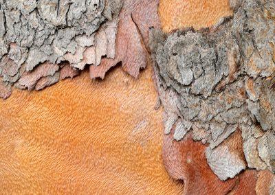 Lophostemon conforteus - (Queensland box - Australie)
