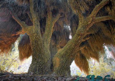 Nolina longifolia - (Noline à longues feuilles - Mexique)