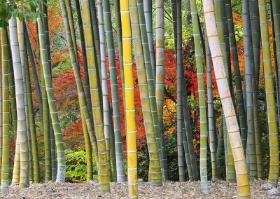 Phyllostachys pubescens - (Bambou moso - Japon)