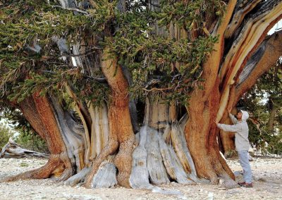 <em><strong>Pinus longaeva</strong></em>  (Pin longue vie - USA)