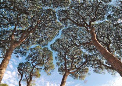 Pinus pinea - (Pin parasol - France)