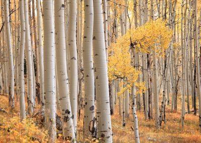 Populus tremuloides - (Peuplier faux-tremble -USA)