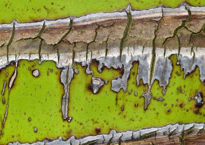 <em><strong>Rhopalostylis sapida</strong></em>  (Palmier Nikau - Nouvelle-Zélande)
