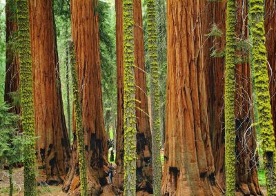 <em><strong>Sequoiadendron giganteum</strong></em>  (Séquoia géant - USA)
