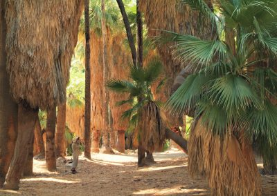 Washingtonia filifera - (Washingtonia américain - USA)