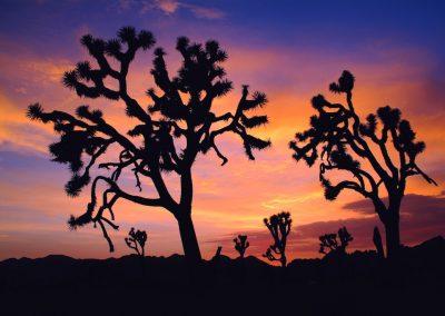 <em><strong>Yucca brevifolia</strong></em> (Arbre de Josué - USA)